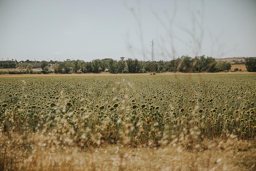 campo di girasoli a roma